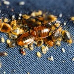 Bed bugs of all life stages, eggs and cast skins