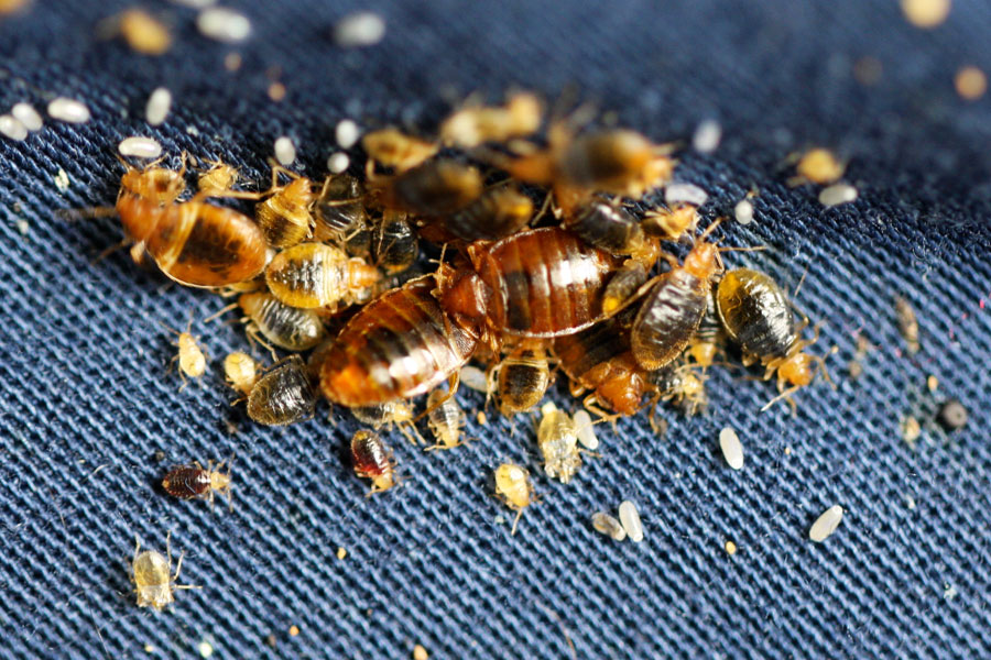 Visual Bed Bug Inspection What Do Bed Bugs Look Like
