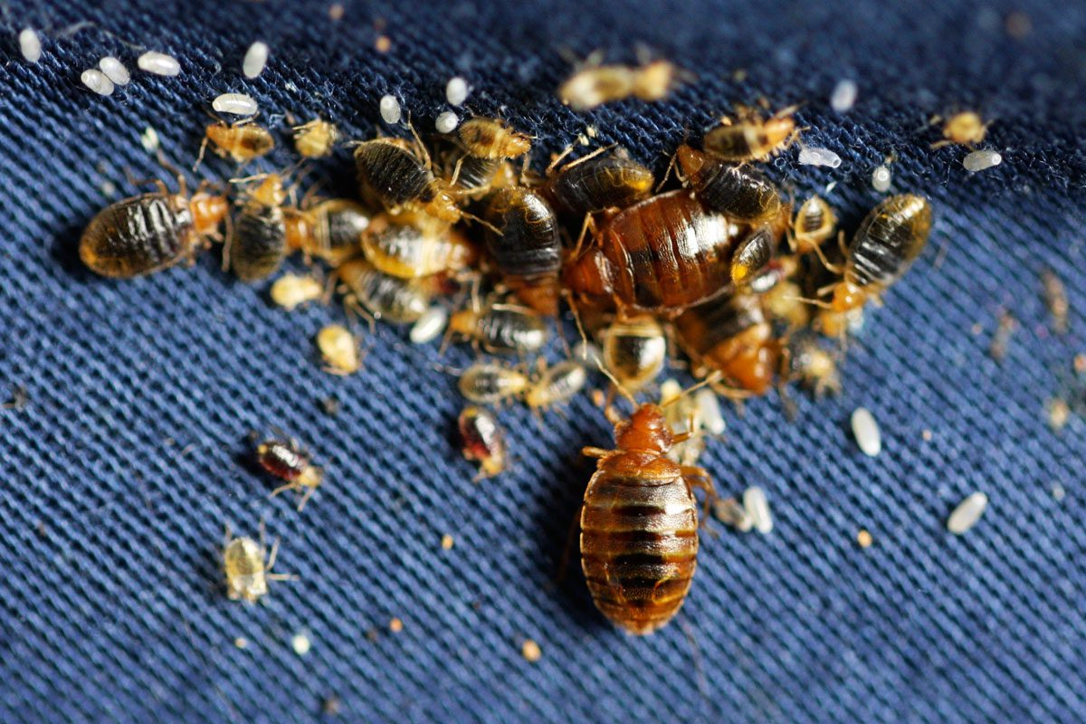 Bed Bug Pictures Visually Identify Bed Bugs Pure
