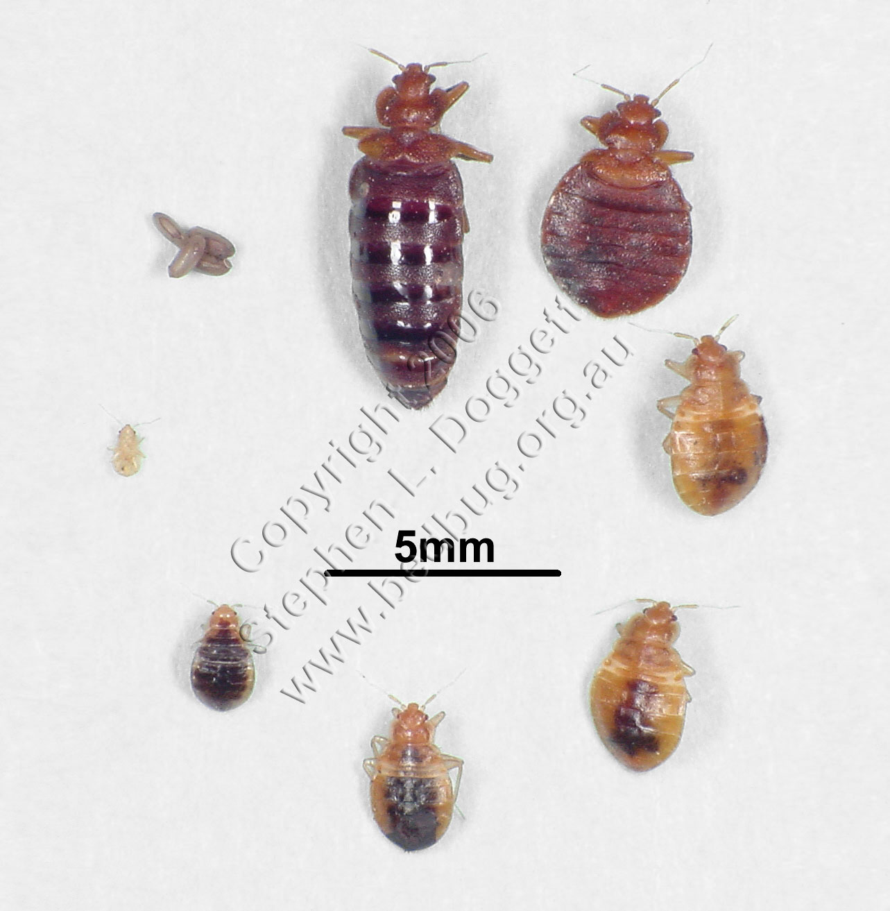 Picture Of Bed Bug Stages
